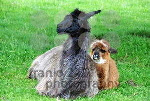Alpaca-family