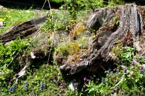 Alpine-tree-stump