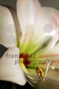 Amaryllis-8211-Close-Up