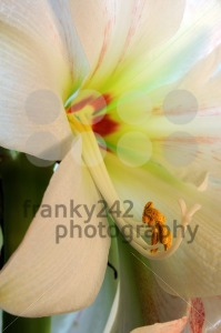 Amaryllis-8211-Close-Up1