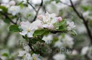 Apple Blossoms - franky242 photography