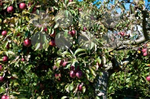 Apple-tree1