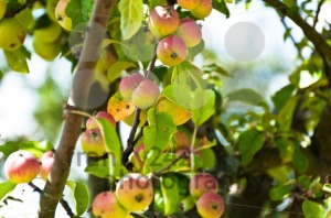 Apples on tree - franky242 photography