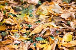 Autumn-Chestnut-Leaves