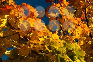Autumn-leaves1