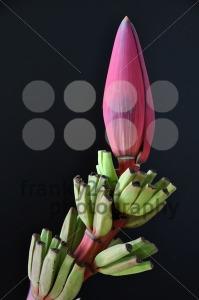 Banana blossom - franky242 photography