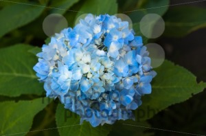 Beautiful blue Hortensia - franky242 photography