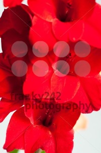 Beautiful red gladiolus - franky242 photography
