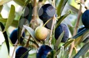 Black-Olives-On-Tree