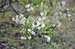 Blackthorn-blossom1