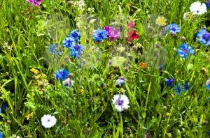 Blooming-Wildflowers1