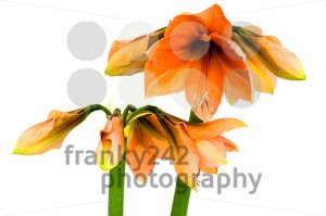 Blooming orange Amaryllis - franky242 photography