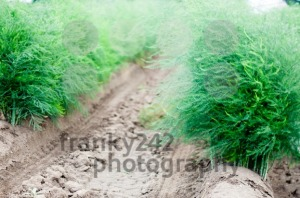Blossoming Asparagus Field - franky242 photography