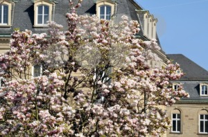 Blossoming-magnolia-tree