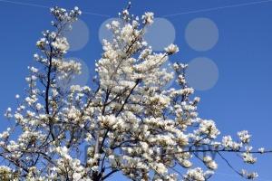 Blossoming-magnolia-tree1