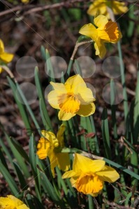 Bright daffodils - franky242 photography