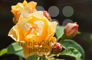 Bright-orange-roses