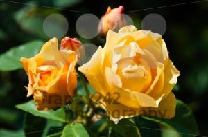Bright-orange-roses1
