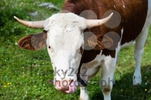 Brown-Cow´s-HeadBrown-Cow´s-Head1