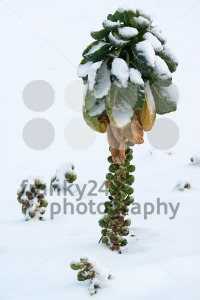 Brussels sprout in snow - franky242 photography