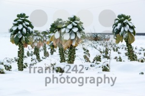Brussels sprouts in snow - franky242 photography