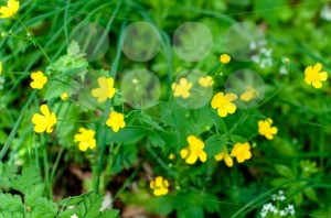 Buttercups - franky242 photography
