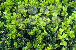 Buxus-Sempervireus