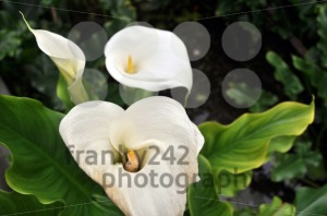 Calla-Lilly-3