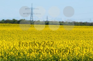 Canola field - franky242 photography