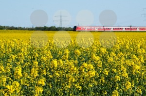 Canola field and train - franky242 photography