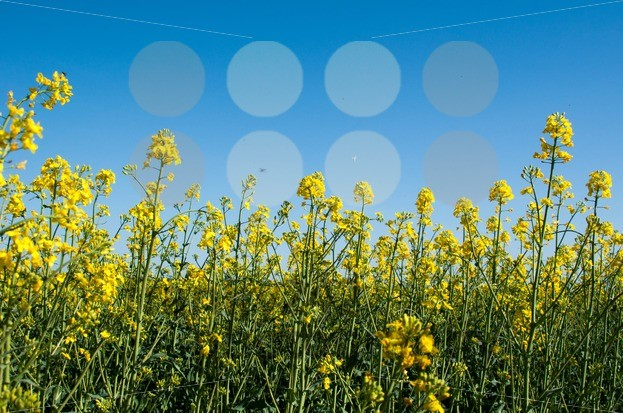 Canola field closeup - franky242 photography
