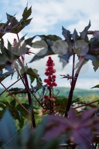 Castor oil plant - franky242 photography