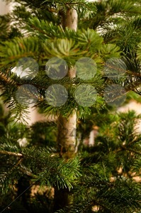 Caucasian Fir Branches - franky242 photography