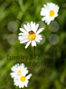 Chamomile-flowers-and-bee