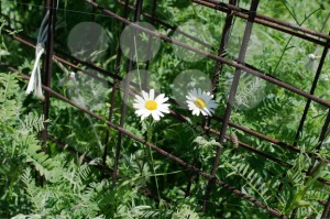 Chamomile-flowers-and-rusty-steel