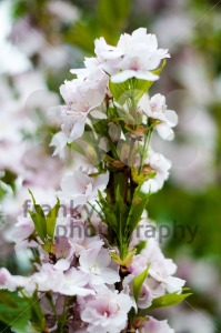 Cherry blossoms - franky242 photography