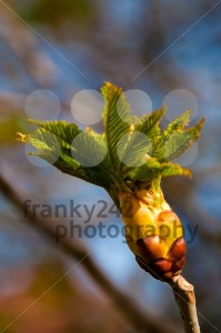 Chestnut Bud - franky242 photography