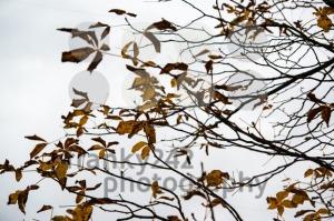 Chestnut-against-autumn-sky