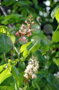 Chestnut-blossom1