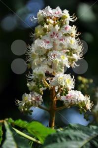Chestnut-blossom2