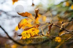 Chestnut-in-autumn1