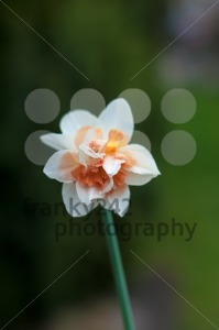 Close Up Of Daffodil - franky242 photography