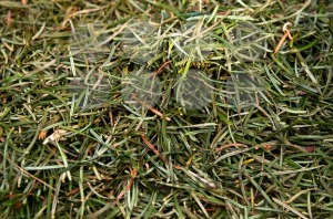 Closeup of fir needles - franky242 photography