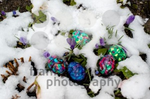 Colorful Easter eggs in snowy garden - franky242 photography