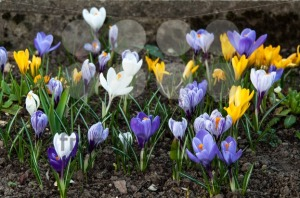 Colourful Crocuses - franky242 photography