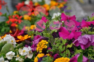 Colourful-flower-bed