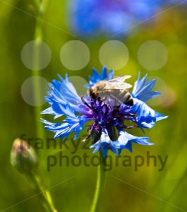 Cornflower-with-bee