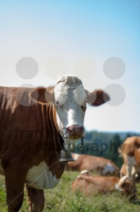 Cows grazing with flies - franky242 photography