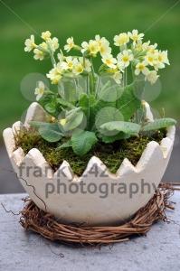 Cowslip-Primula-veris