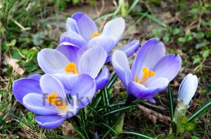 Crocus-In-Grass